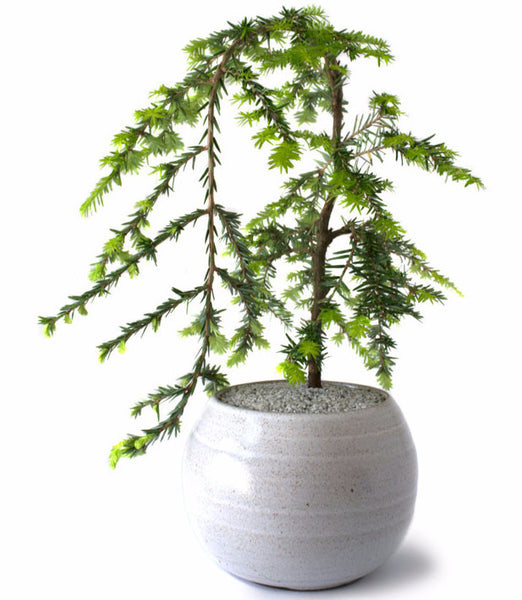'Nolan' the Canadian Hemlock