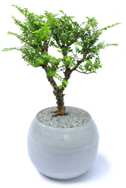 'Kento' the Lacebark Elm