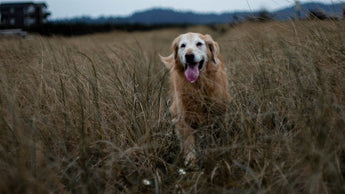 Osteoarthritis in Dogs: Managing Dog Joint Pain