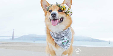 A Sit Down with Instagram Doggy Model, Cooper the Corgi (@littlecooperbear)