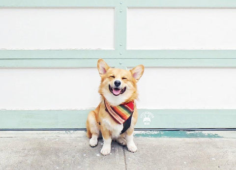 Instagram Dog Influencer, Cooper the Corgi - SnapWag.com