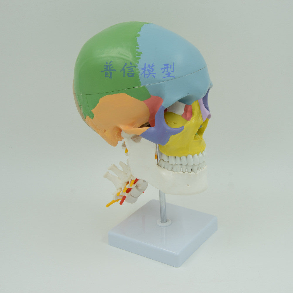 Colored Human Skull Model With Cervical Spine