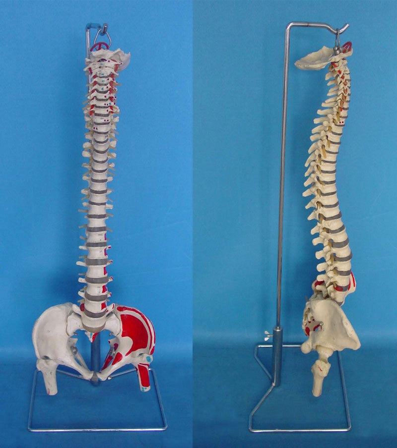 Human Spine Model With Muscle Coloring