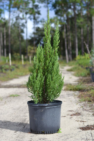 "Juniper ""Blue Point"""
