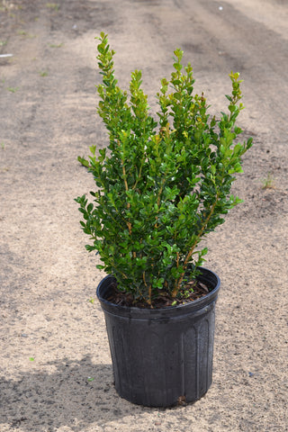 "Boxwood ""Wintergreen"""