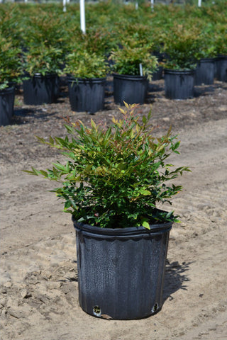 "Nandina-""Gulfstream"" NEW ITEAM"