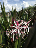 "Crinum Lily-""Queen Emma"" (red)"