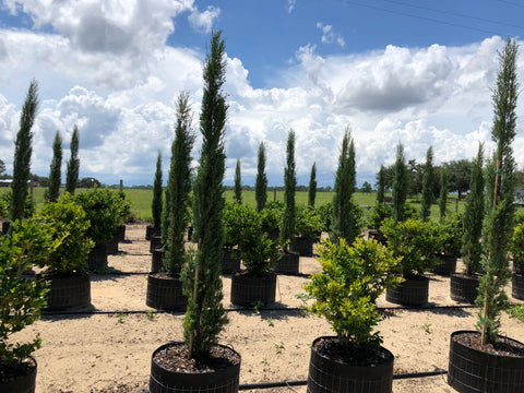 Italian Cypress Cool Rings