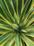 Agave Desmenttiana - Variegated or Green