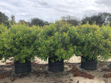 Wax Myrtle  Cool Rings