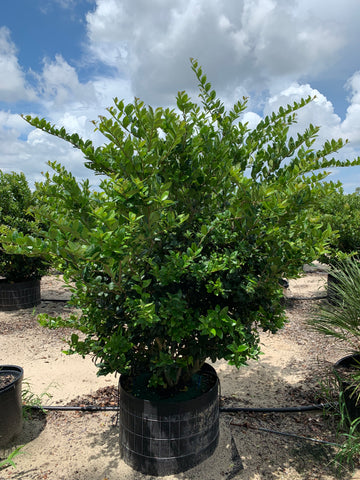 "Ligustrum ""Lucidum"" Cool Ring"