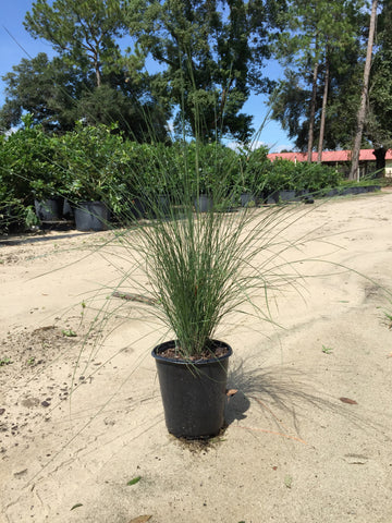 Muhly Grass