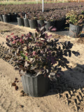 "Loropetalum "" Plum"""