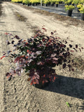 "Loropetalum "" Ruby"""