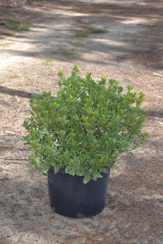 "Pittosporum-""Variegata"""