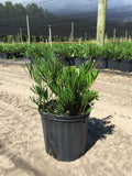 Zamia/Coontie Palm 3g