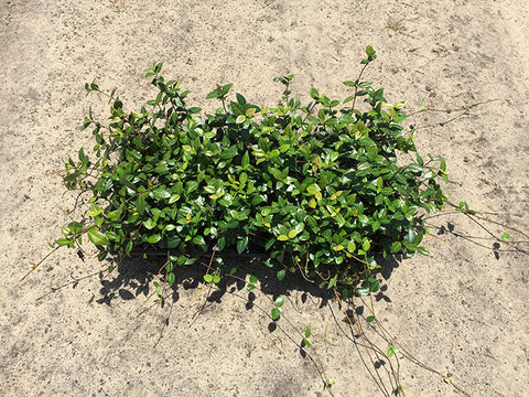 Asiatic Jasmine Minima-Green 4'
