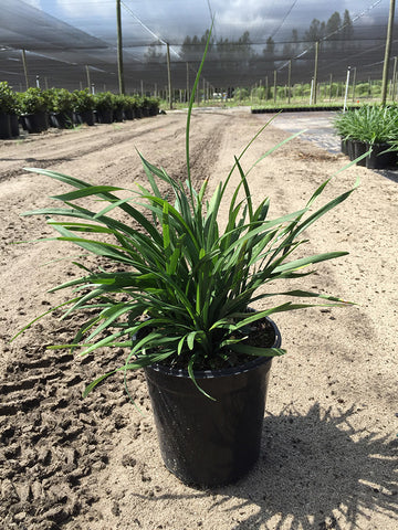 Big Blue Liriope