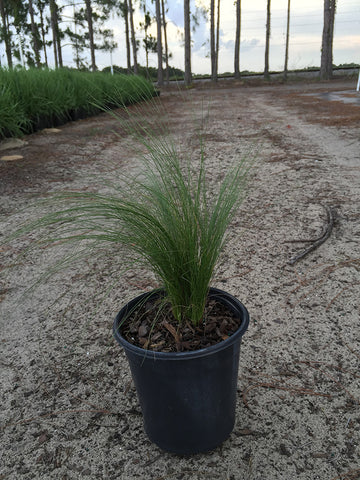 Mexican Feather Grass Limited