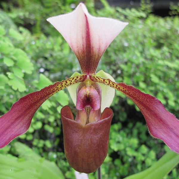 Paph. De Witt Smith (spicerianum x lowii 'Monsoon RedWing')