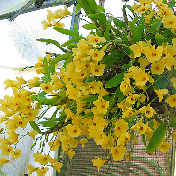 Dendrobium Golden Aya (aphrodite x capillipes)