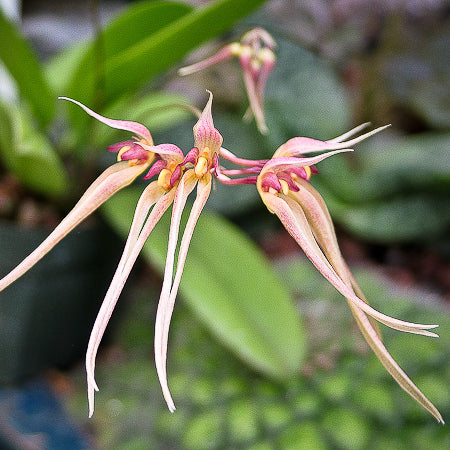 Bulbophyllum macraei ('MC4193' x self)