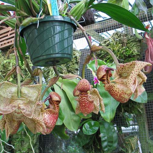 Coryanthes macrantha