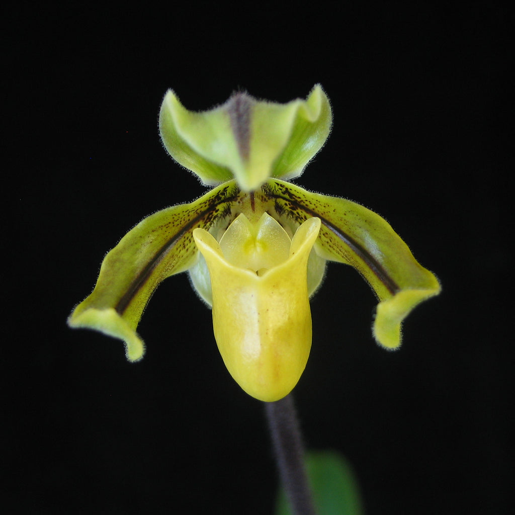 Paphiopedilum druryi ('The King' AM/AOS x self)