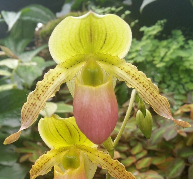 Paphiopedilum Mount Avalon (Mount Toro 'Totality'  HCC/AOS x Avalon Mist 'Sunshine')