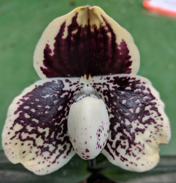 Paphiopedilum godefroyae ('Bleeding Heart' x 'Gold Fish')