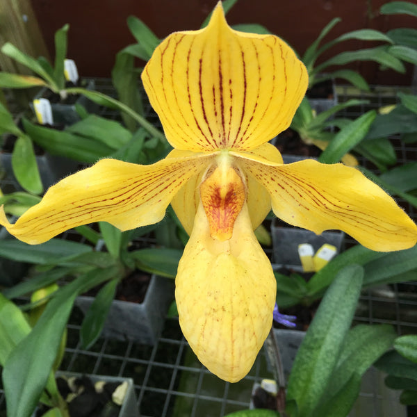Paphiopedilum (armeniancum '#6' x rothschildianum 'New City')
