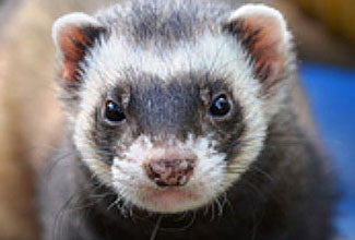 Ferret Basics - 7 things all owners need to know