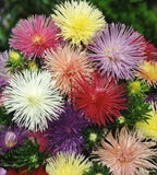 "Aster "" Nova Needle"" seeds"