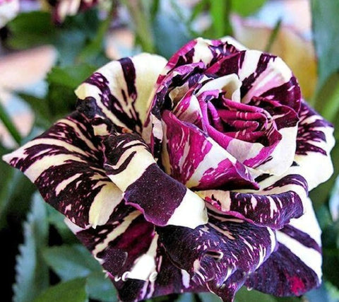 Black Dragon Rose seeds - Rare breed