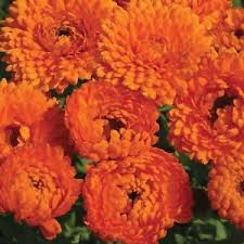 "Calendula "" Geisha girl"" approx. 25 seeds"