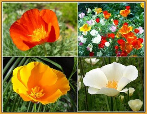 """ CALIFORNIA DREAMIN "" Poppy mix seeds"