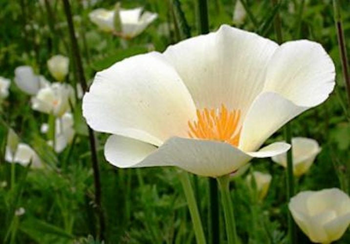 "Califonia Poppy ""White Linen"" Approx 100 seeds"