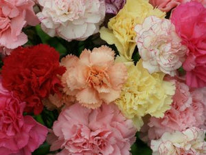 Carnation- Chabaud Mix-Approx 100 seeds