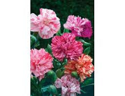 Picotee mixed Carnation seeds- Approx 100