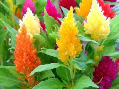 Celosia Pampas Mix seeds approx. 100