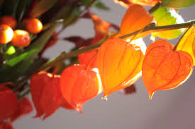 Chinese Lantern seeds- Approx 10