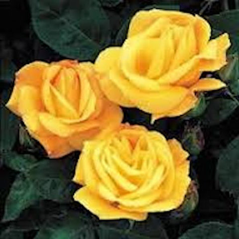 One DOZEN--CLIMBING YELLOW ROSE seeds
