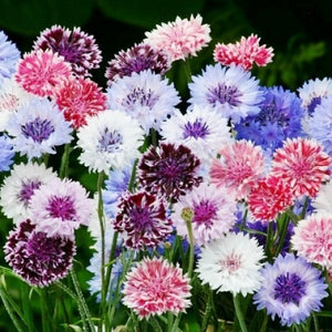 Cornflower Frosty Mix