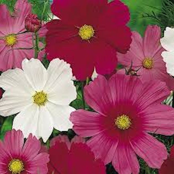 Sensation Cosmos Mix seeds