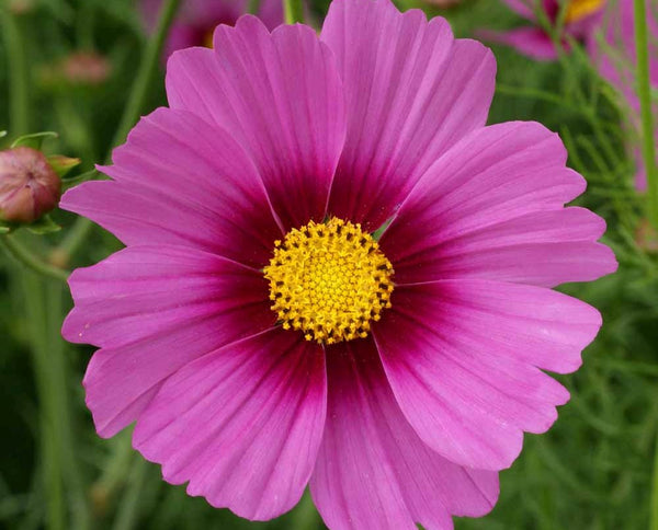 """Pretty in Pink"" Exclusive seed mix"