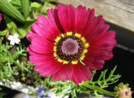 "Daisy "" Flame"" seeds Approx 50"