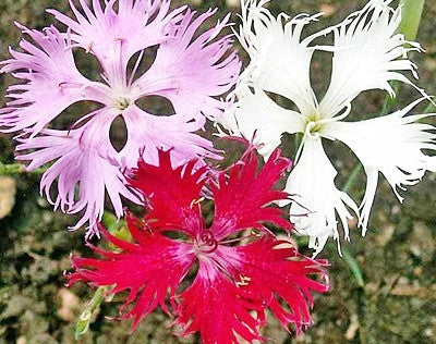 Dianthus fringed Pink mixed seeds Approx 150