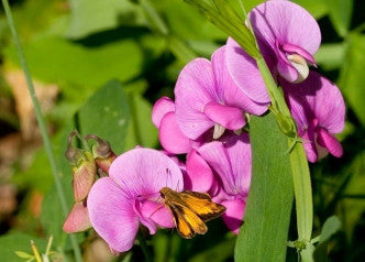 Everlasting pink Sweetpea seeds-10