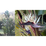 Giant White Bird Of Paradise seeds