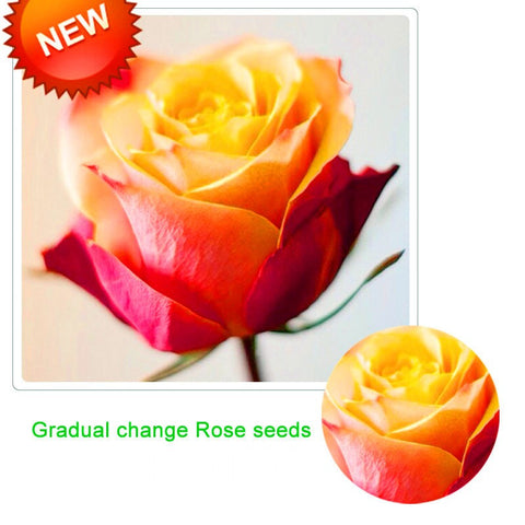 Gradual changing rose- seeds